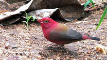 Load image into Gallery viewer, Black Bellied Firefinch