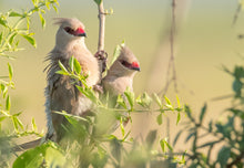 Load image into Gallery viewer, Blue-naped Mousebird
