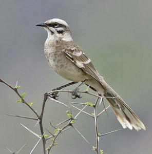 Long Tailed Mockingbird