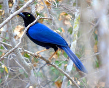 Load image into Gallery viewer, Purple-backed Jay