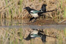Load image into Gallery viewer, Eurasian Magpie