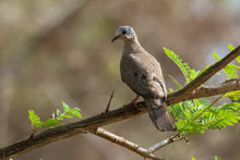 Load image into Gallery viewer, Blue-spotted Wood Dove