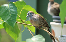 Load image into Gallery viewer, Zebra Dove