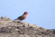 Load image into Gallery viewer, Red Billed Firefinch