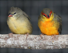 Load image into Gallery viewer, Gold-breasted Waxbill