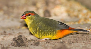 Gold-breasted Waxbill