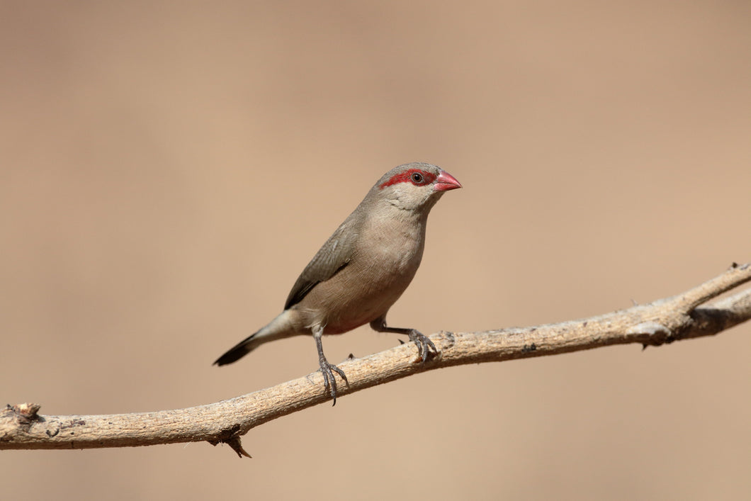 Red-Eared Waxbill