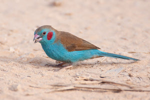 Red-cheeked Cordon Bleu Finch
