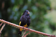 Load image into Gallery viewer, Black Siskin