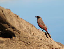 Load image into Gallery viewer, Black-cheeked Waxbill