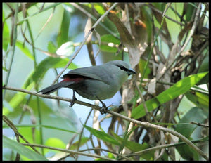 Black-Tailed Lavender Waxbill