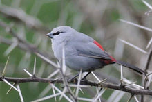Load image into Gallery viewer, Black-Tailed Lavender Waxbill