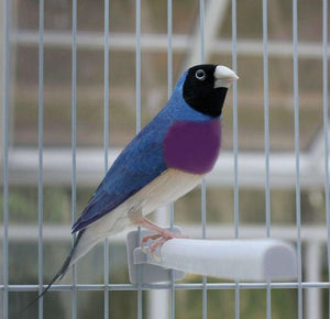 Blue-back Lady Gouldian