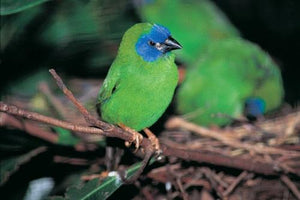 Blue-faced Parrotfinch