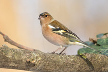 Load image into Gallery viewer, Chaffinch