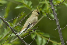 Load image into Gallery viewer, Desert Finch