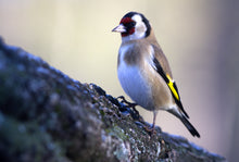 Load image into Gallery viewer, European Australian Goldfinch