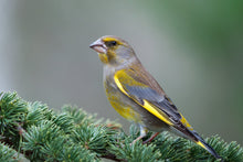 Load image into Gallery viewer, Greenfinch