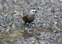 Load image into Gallery viewer, Grey-headed Silverbill