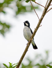 Load image into Gallery viewer, Lined Seedeater