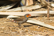 Load image into Gallery viewer, Orange-cheeked Waxbill