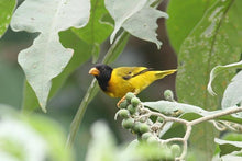 Load image into Gallery viewer, Oriole Finch