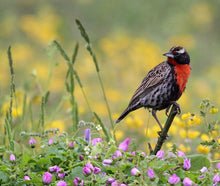 Load image into Gallery viewer, Peruvian Meadowlark