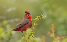 Load image into Gallery viewer, Red-crested Finch