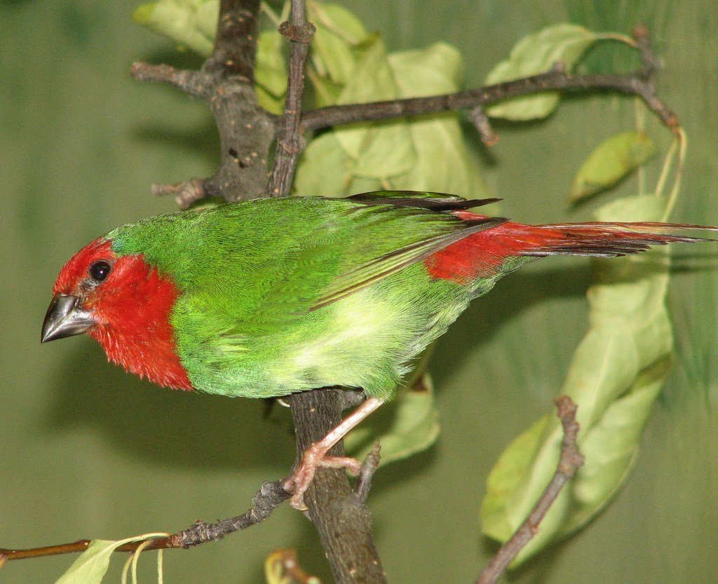 Red-faced Parrotfinch