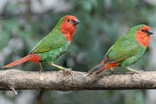 Load image into Gallery viewer, Red-faced Parrotfinch