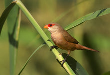 Load image into Gallery viewer, St. Helena Waxbill