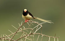 Load image into Gallery viewer, Straw-Tailed Whydah