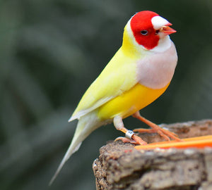 Yellow Back White Breast Belgium Lady Gouldian Finch