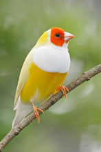 Load image into Gallery viewer, Yellow Back Lady Gouldian Finch