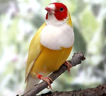 Load image into Gallery viewer, Yellow Back White Breast Belgium Lady Gouldian Finch