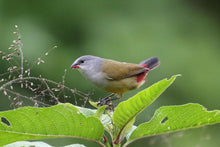 Load image into Gallery viewer, Yellow-bellied Waxbill