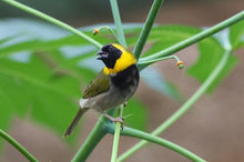 Load image into Gallery viewer, Cuban Melodious Finch