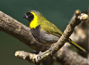 Cuban Melodious Finch
