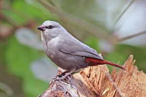 Lavender Waxbill Red Tail