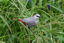 Load image into Gallery viewer, Lavender Waxbill Red Tail