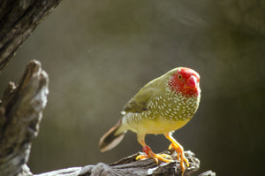 Star Finch ( Red Face )