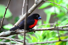 Load image into Gallery viewer, Western Bluebill