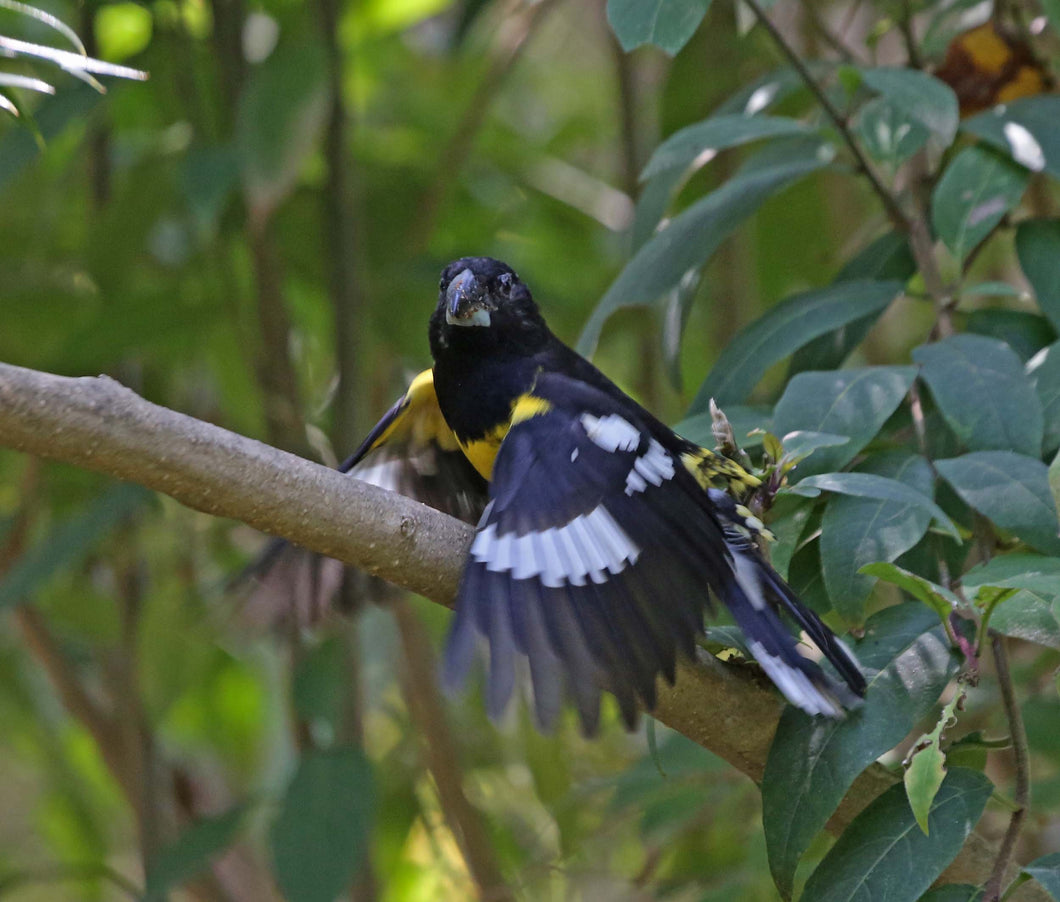 Black backed Grosbeak