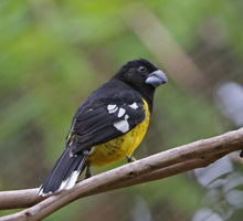 Load image into Gallery viewer, Black backed Grosbeak