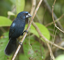Load image into Gallery viewer, Blue-black Grosbeak