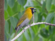 Load image into Gallery viewer, Yellow-green Grosbeak