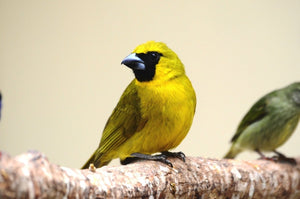 Yellow-green Grosbeak