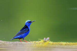 Red Legged Honeycreeper
