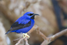 Load image into Gallery viewer, Yellow-legged Honeycreeper
