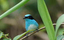 Load image into Gallery viewer, Black-faced Dacnis
